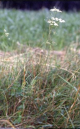Pimpinella saxifraga 1