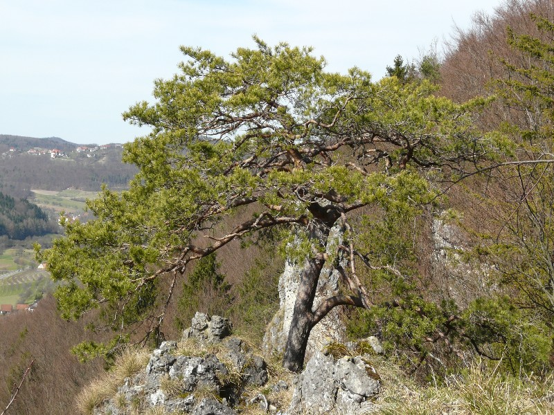 Pinus sylvestris 1