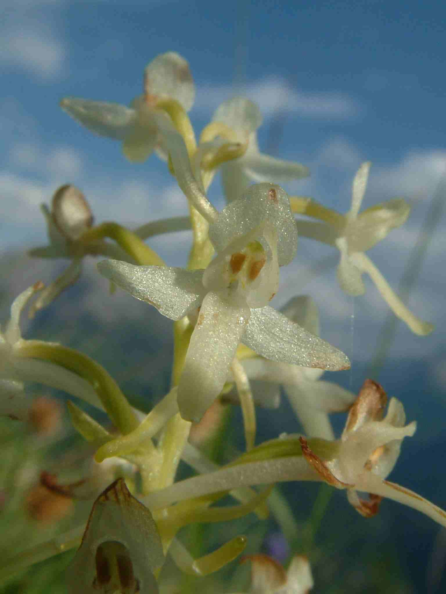 Platanthera bifolia 2