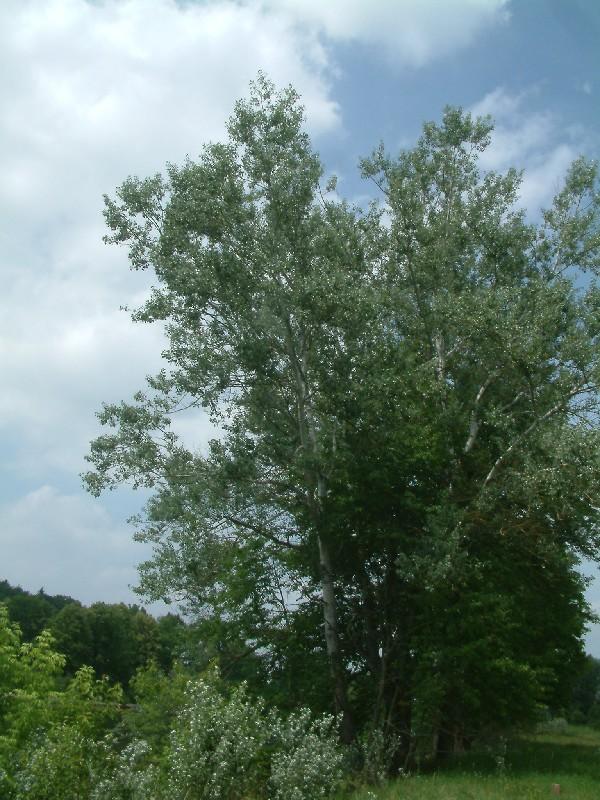 Populus alba 1