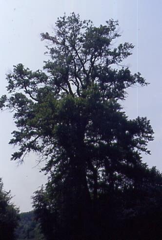Populus nigra 1