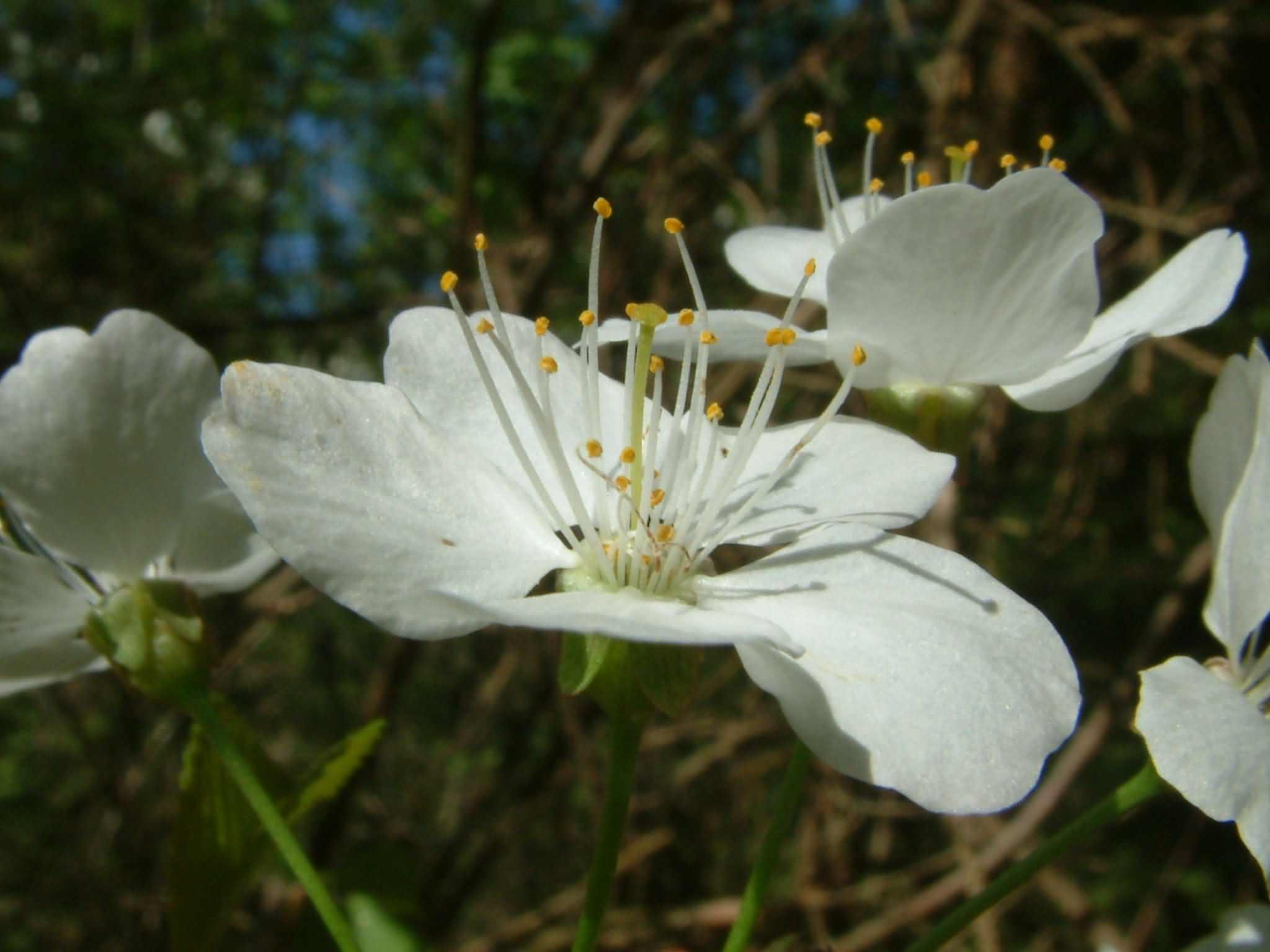 Prunus avium 3