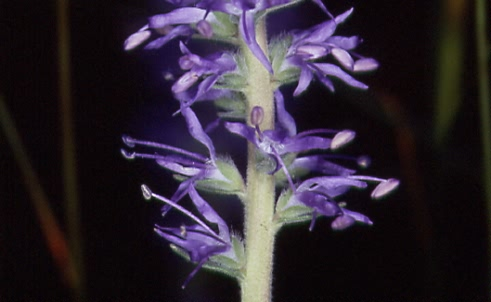 Pseudolysimachion spicatum 2