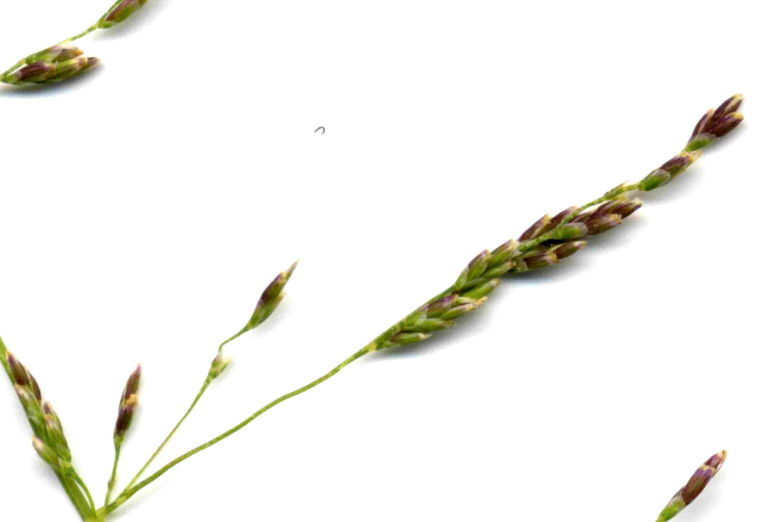 Puccinellia distans 2