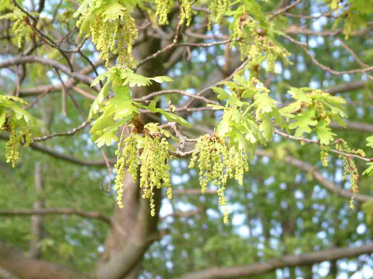 Quercus robur 1