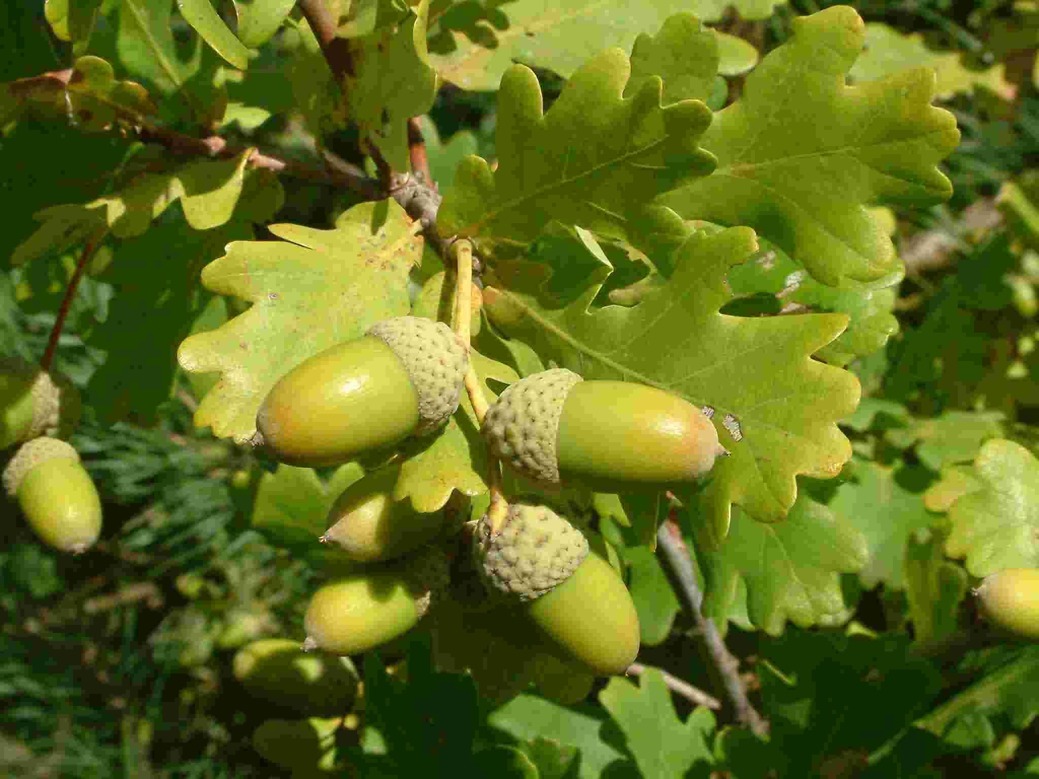 Quercus robur 3