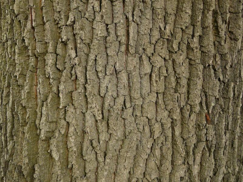 Quercus robur 4