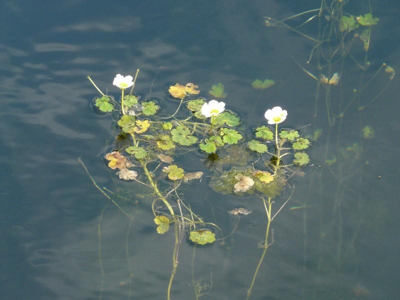 Ranunculus aquatilis 1