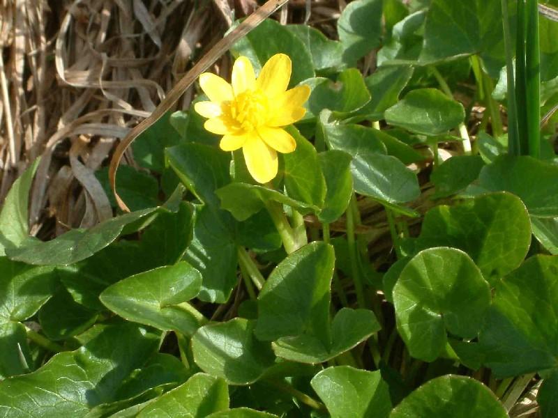 Ranunculus ficaria 1