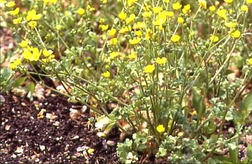 Ranunculus sardous 1