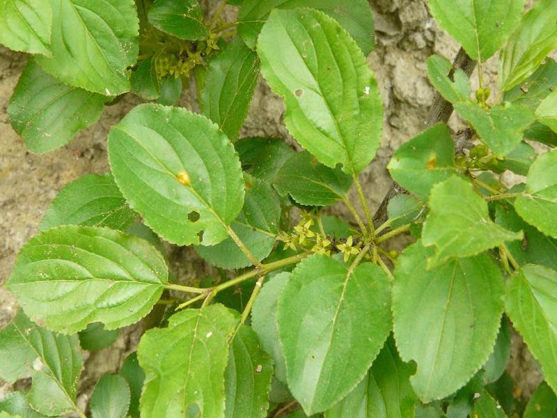 Rhamnus catharticus 1