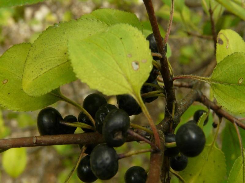 Rhamnus catharticus 4