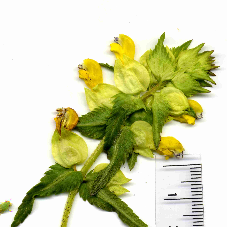 Rhinanthus angustifolius 4