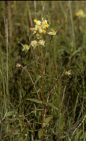 Rhinanthus angustifolius 1
