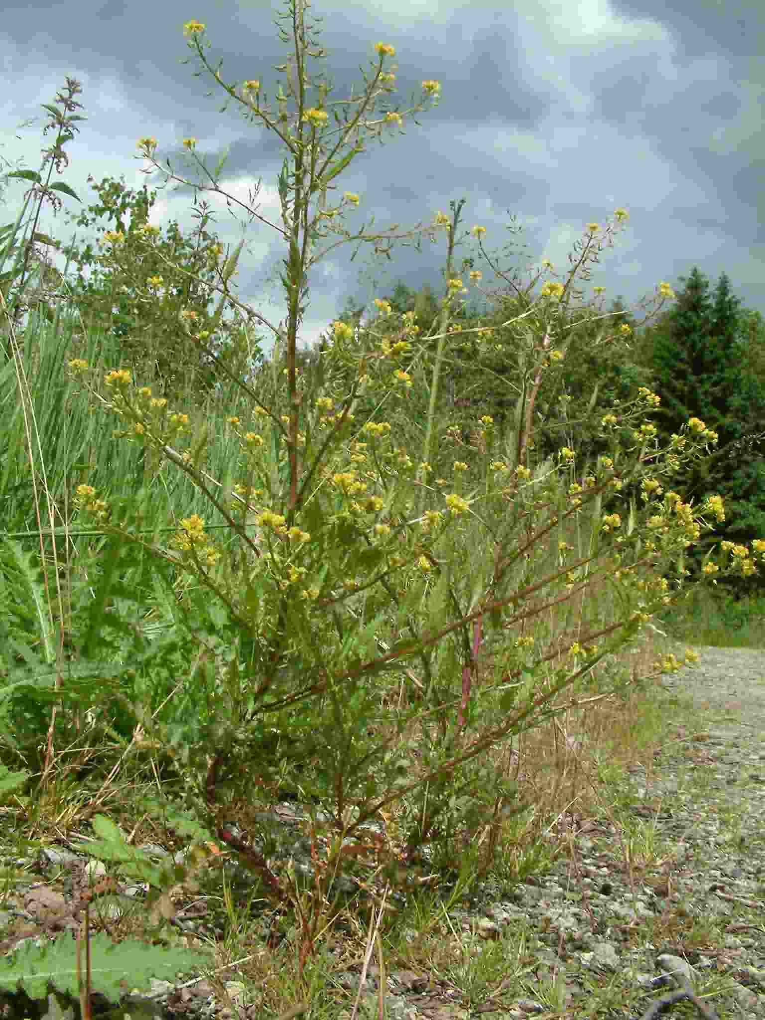 Rorippa palustris 1