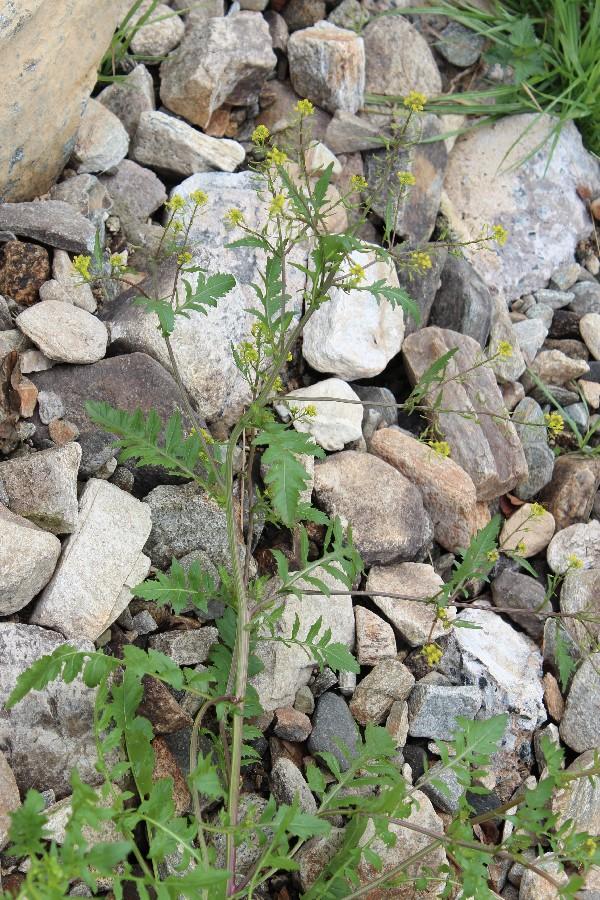 Rorippa palustris 2
