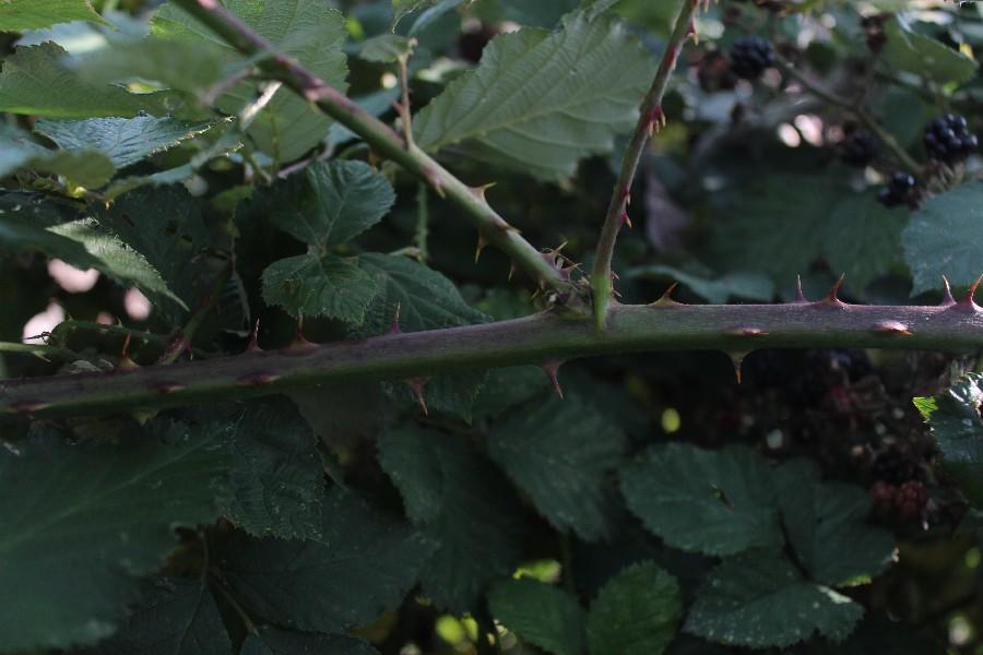 Rubus bifrons 3