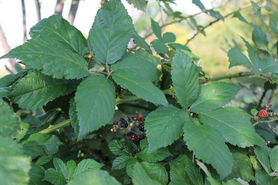 Rubus bifrons 2