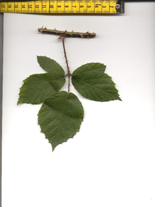 Rubus caflischii 1