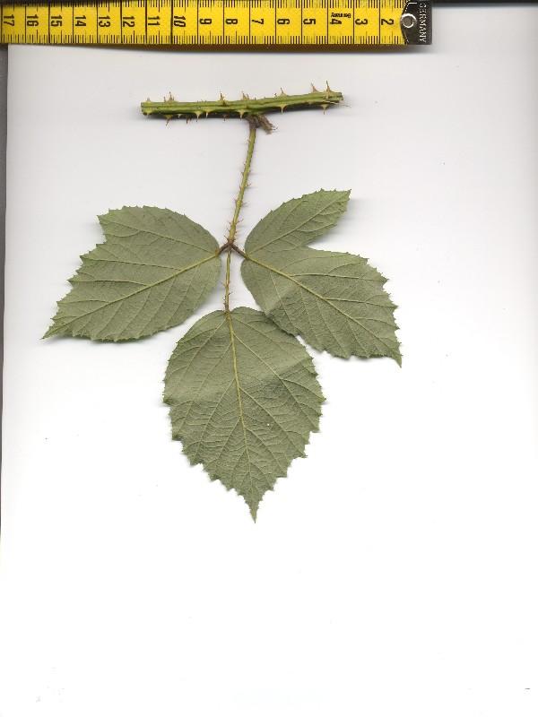 Rubus caflischii 2