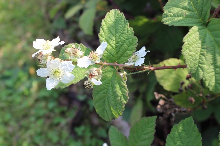 Rubus canescens 2