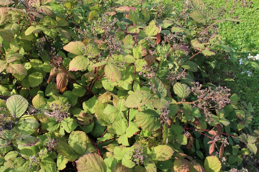 Rubus canescens 1