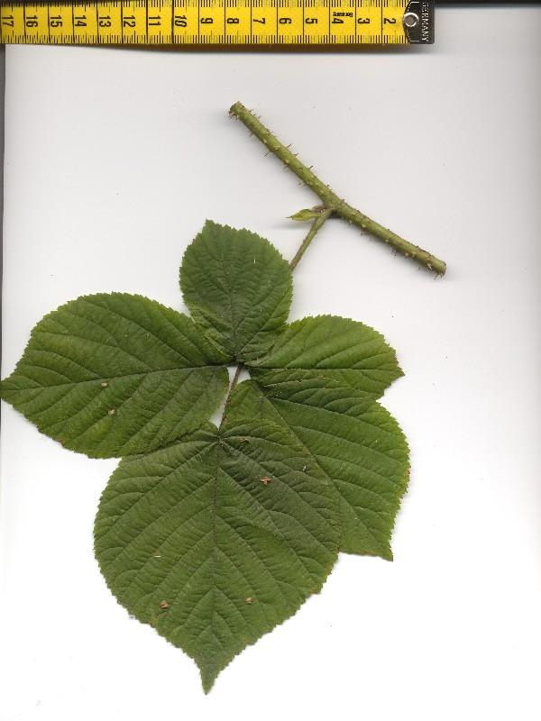 Rubus fabrimontanus 1