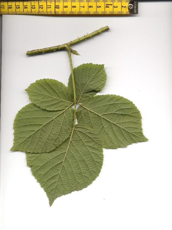 Rubus fabrimontanus 2