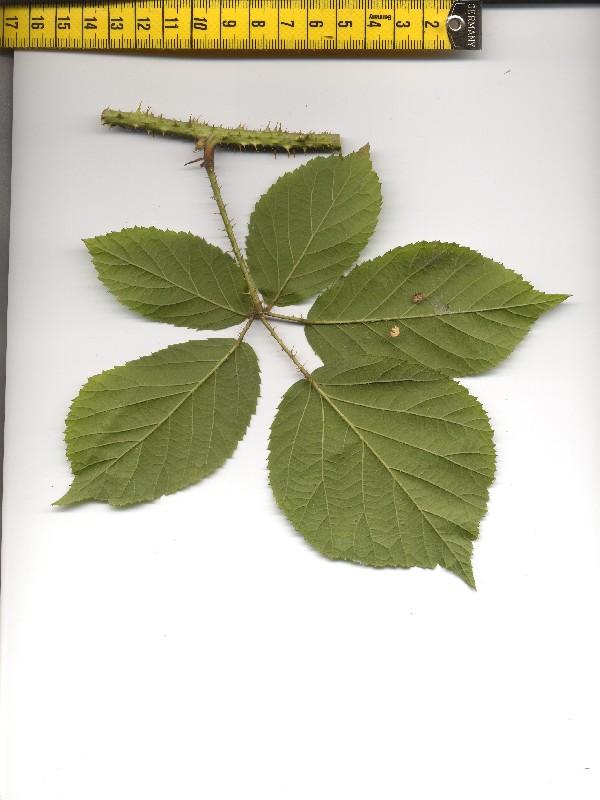 Rubus koehleri 2