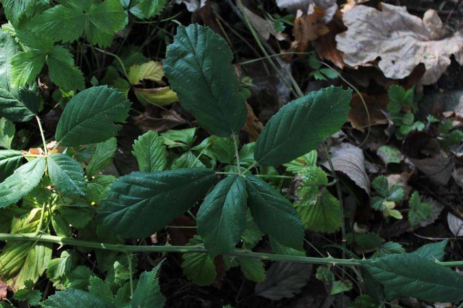 Rubus perperus 1