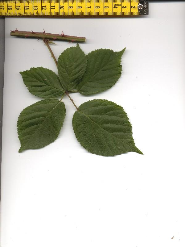 Rubus plicatus 1