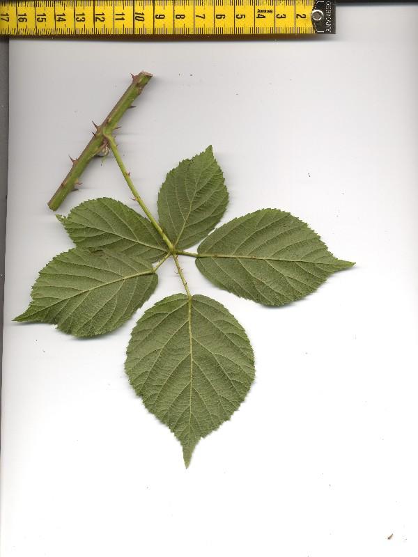 Rubus plicatus 2