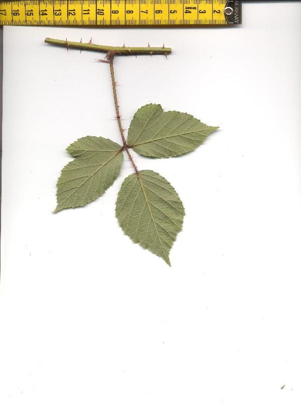Rubus radula 2
