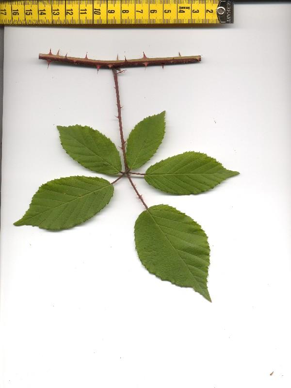 Rubus radula 1