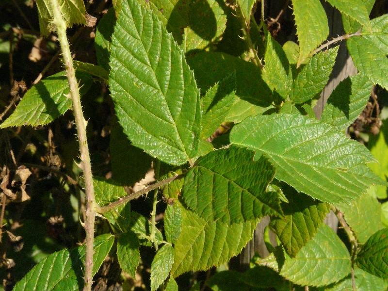 Rubus schleicheri 1