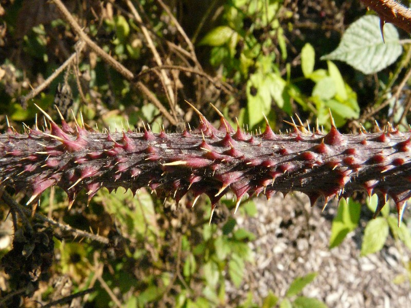 Rubus schleicheri 2