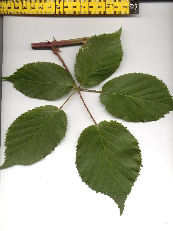Rubus suevicola 1