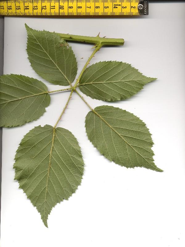 Rubus suevicola 2