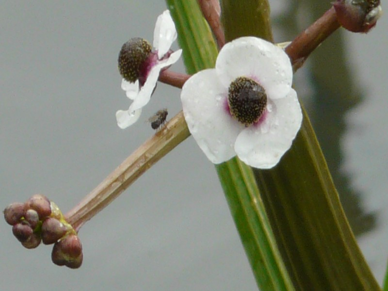 Sagittaria sagittifolia 2