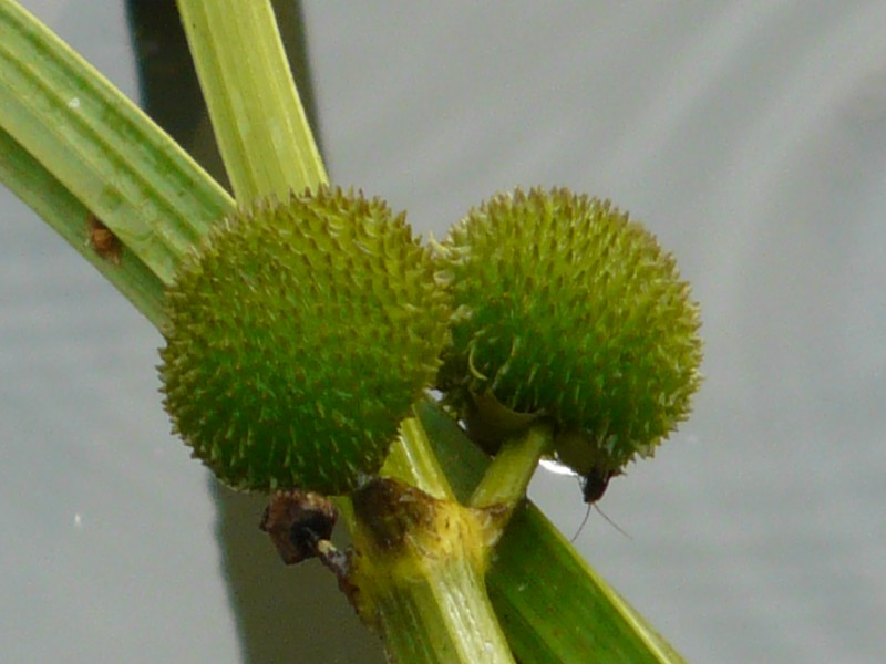 Sagittaria sagittifolia 4