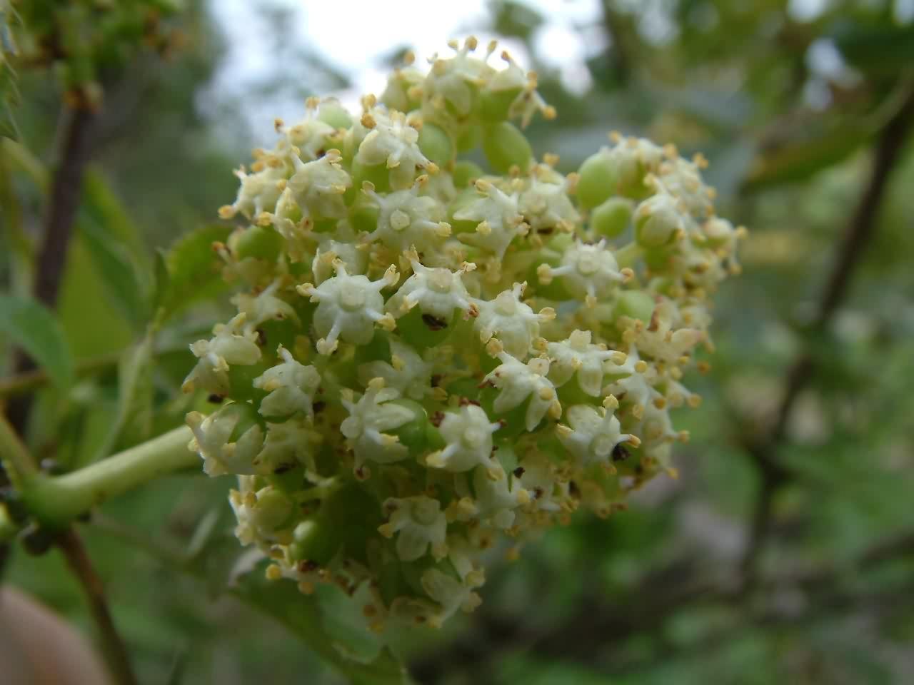 Sambucus racemosa 3