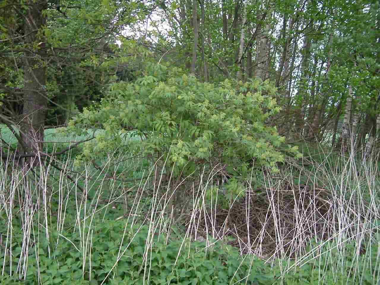 Sambucus racemosa 1