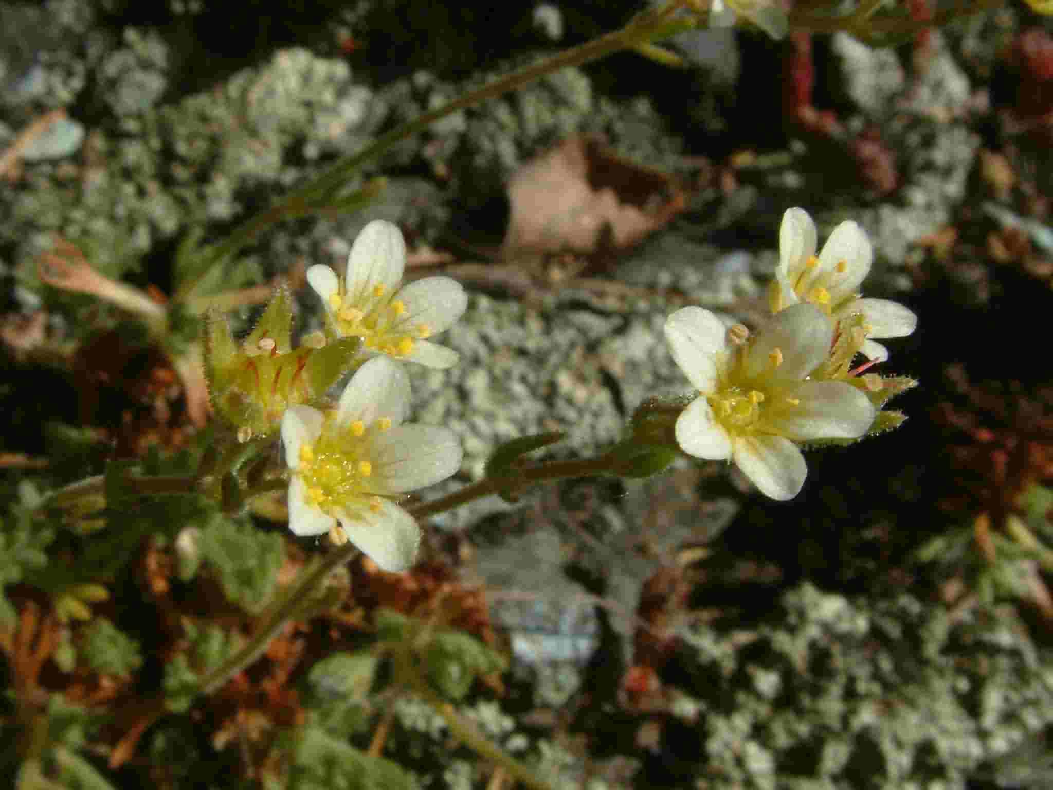 Saxifraga rosacea 2
