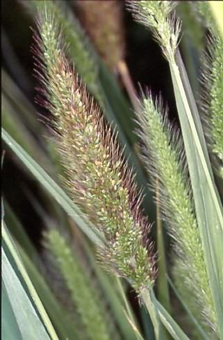 Setaria viridis 2