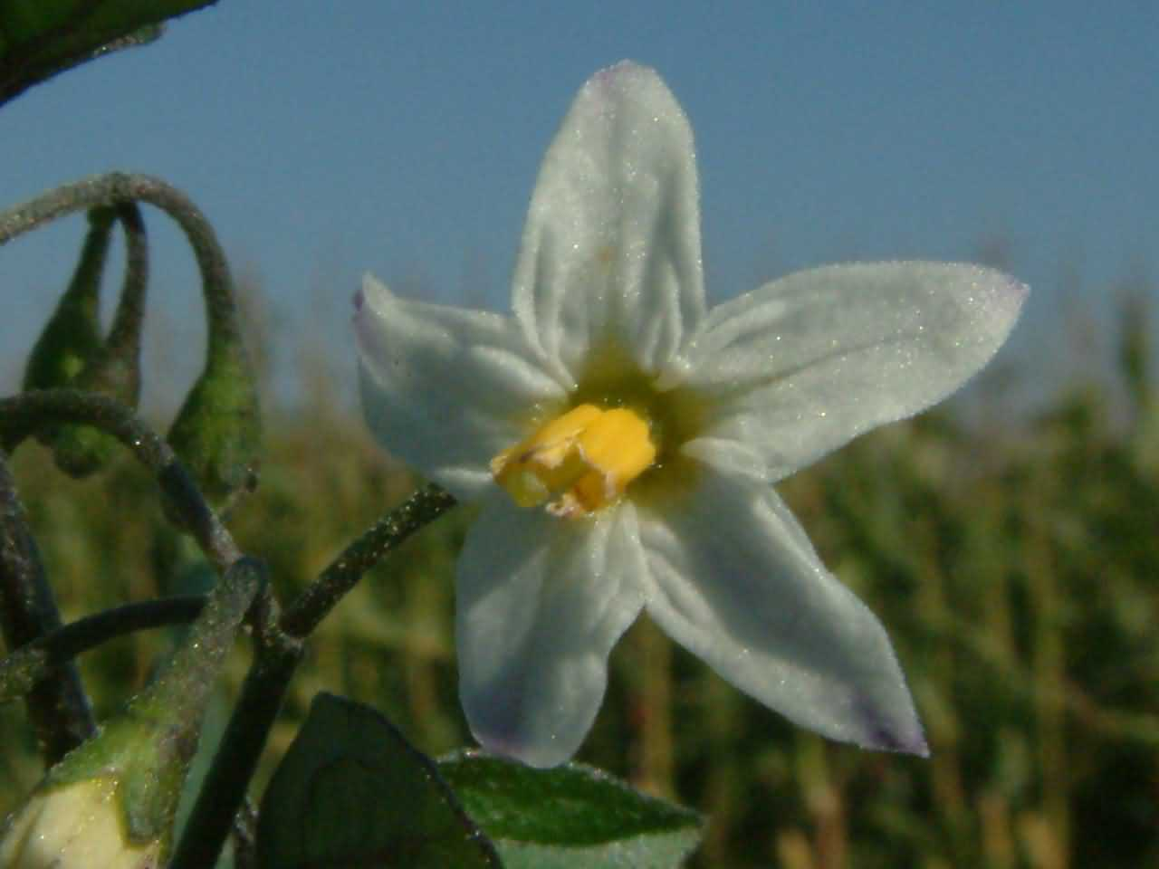 Solanum nigrum 2
