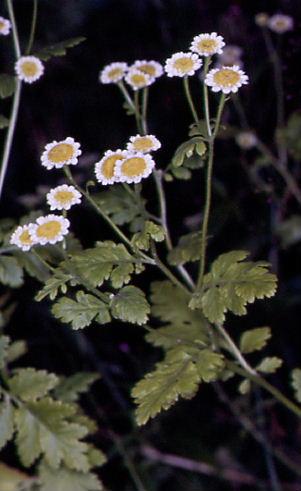 Tanacetum parthenium 1