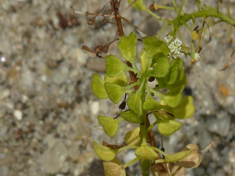 Teesdalia nudicaulis 3