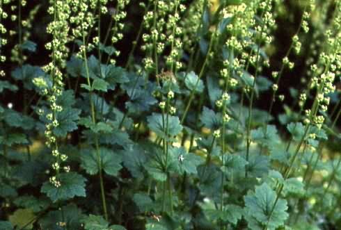 Tellima grandiflora 1