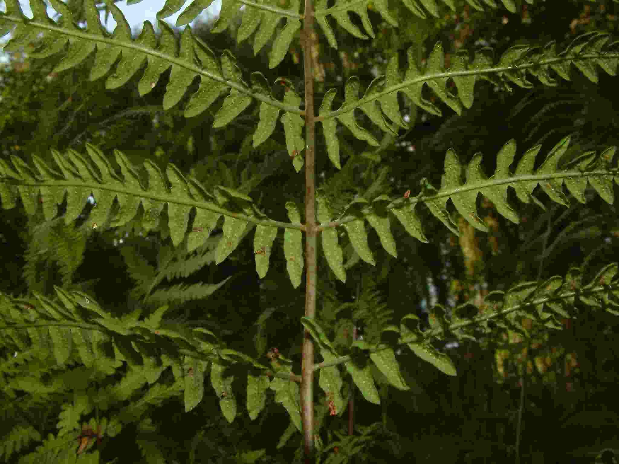 Thelypteris palustris 5