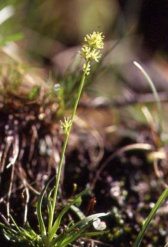 Tofieldia calyculata 1